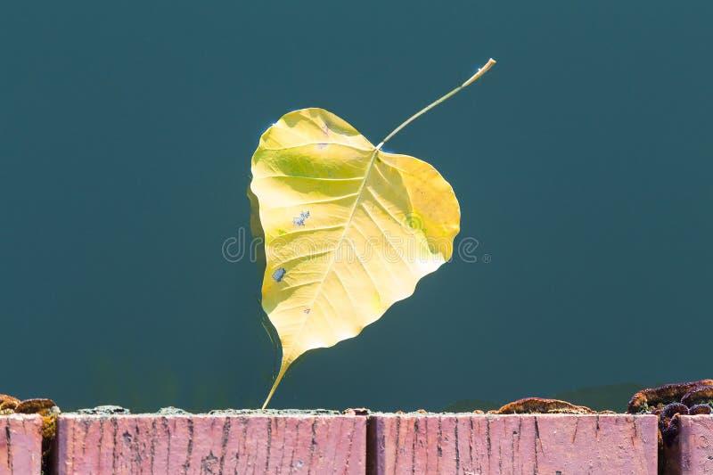 Gelbes bodhi Blatt, das in Wasser schwimmt lizenzfreie stockfotos