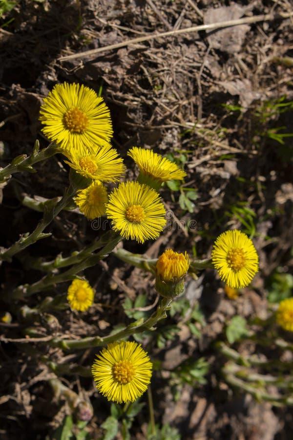 Gelbes Coltsfootblume foalfoot vertikale Fotonahaufnahme zurückhaltend, medizinische Kräuter Blumen mit den Blumenblättern und ru lizenzfreie stockfotografie
