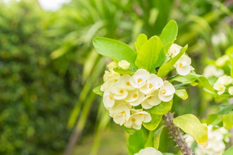 Gelbes Dornenkrone Blumen auf Baum stockbilder