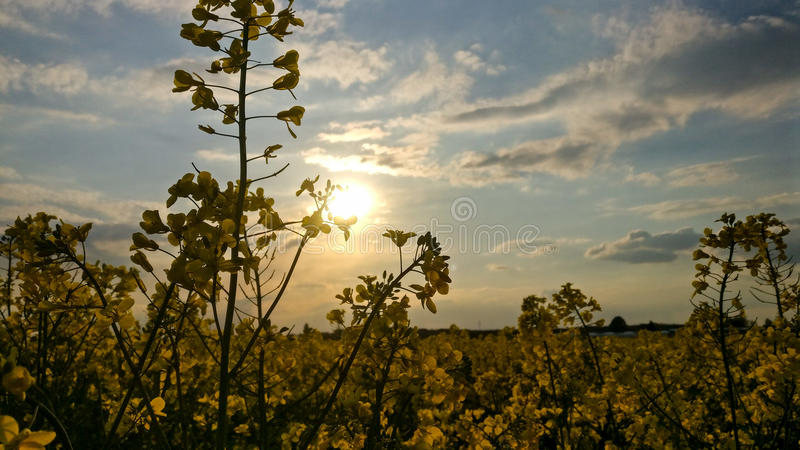 Gelbes Feld in Deutschland stockbild