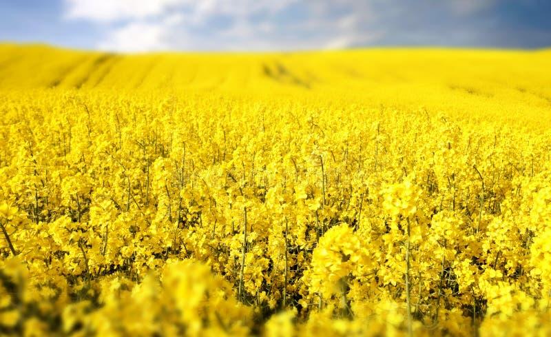 Gelbes Feld mit Ölsaatraps im frühen Frühling lizenzfreies stockbild