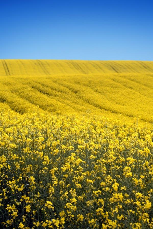 Gelbes Feld mit Ölsaatraps im frühen Frühling stockfotografie