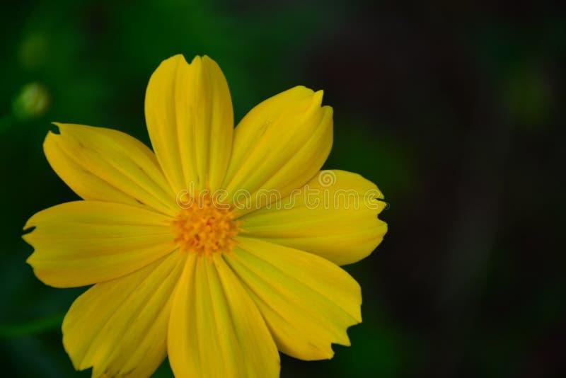 Gelbes floewer lizenzfreie stockfotos