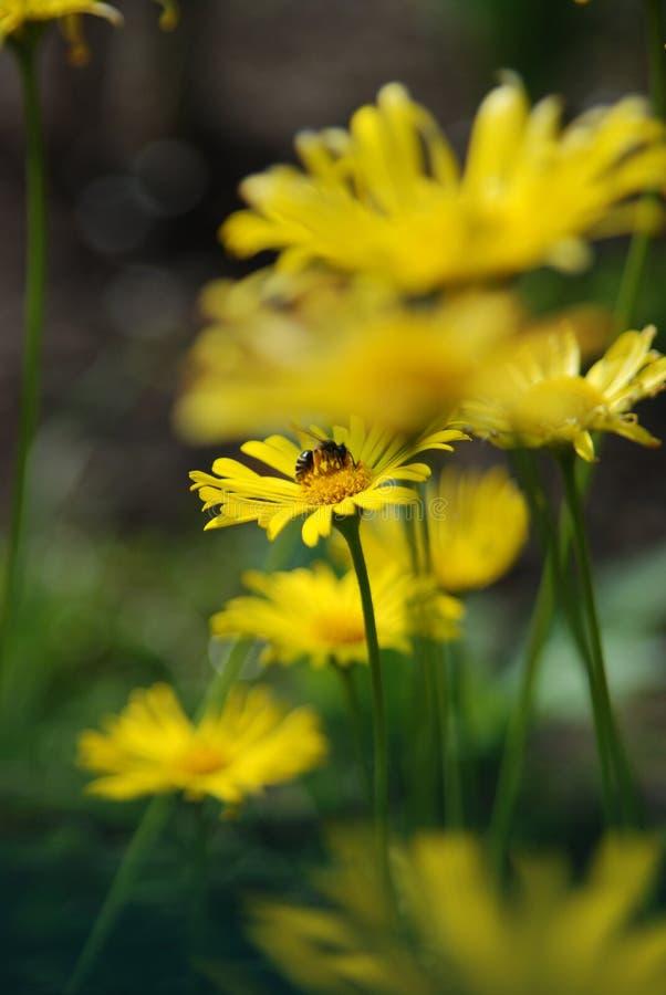 Gelbes flower power ganz über 2 stockfotos
