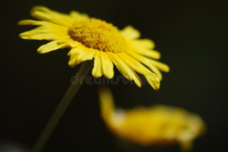 Gelbes Gänseblümchen lizenzfreies stockbild