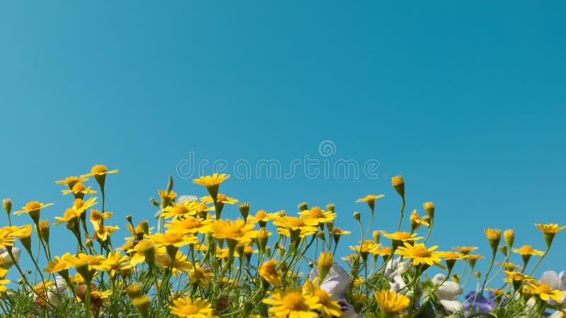 Gelbes Gänseblümchen blüht Wiesenfeld mit klarem blauem Himmel, helles Tageslicht schöner natürlicher blühender Sommer der Gänseb stockfoto