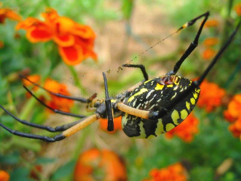 Gelbes Garten-Spinnen-Makro Stockfotografie