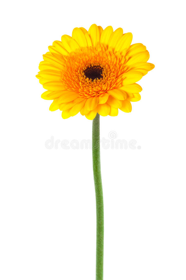 Gelbes gerber stockfotos