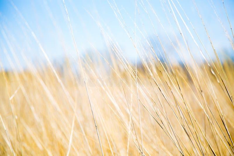 Gelbes Graslandgras und blauer Himmel in Sommer Minnesota-Ebenen lizenzfreies stockfoto