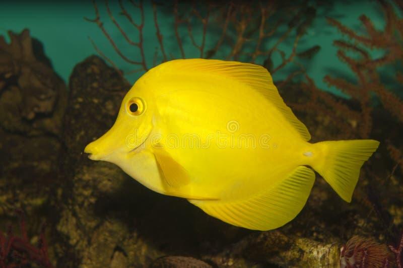 Gelbes hawaiisches Tang (Zebrasoma flavescens) lizenzfreies stockbild