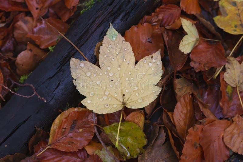 Gelbes helles Blatt zwischen dunkleren orange Blättern nahe alter Niederlassung stockbild