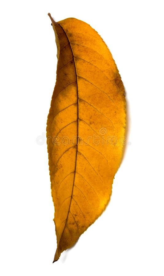 Gelbes Herbstwalnuß Juglans- Regiablatt lizenzfreie stockbilder