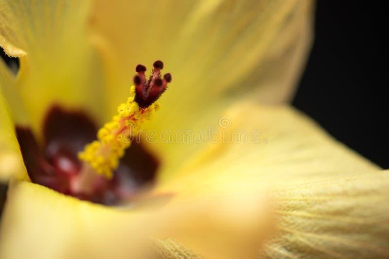 Gelbes Hibiscus-Blumen-Makro stockfoto