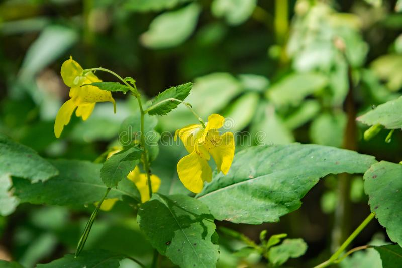 "Gelbes Jewelweed †""Impatiens-pallida stockfoto"