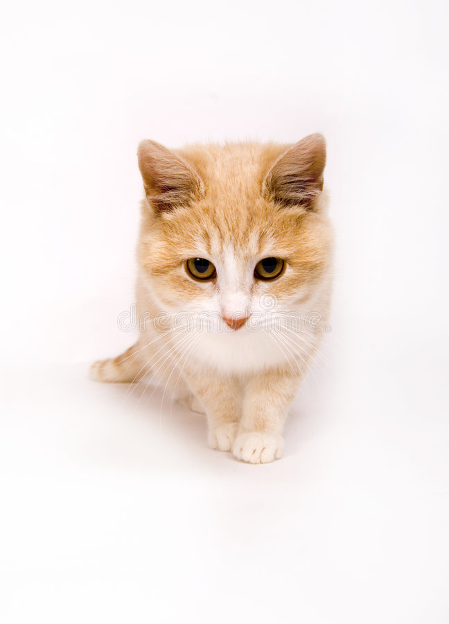 Gelbes Kätzchen auf Weiß   stockfotografie