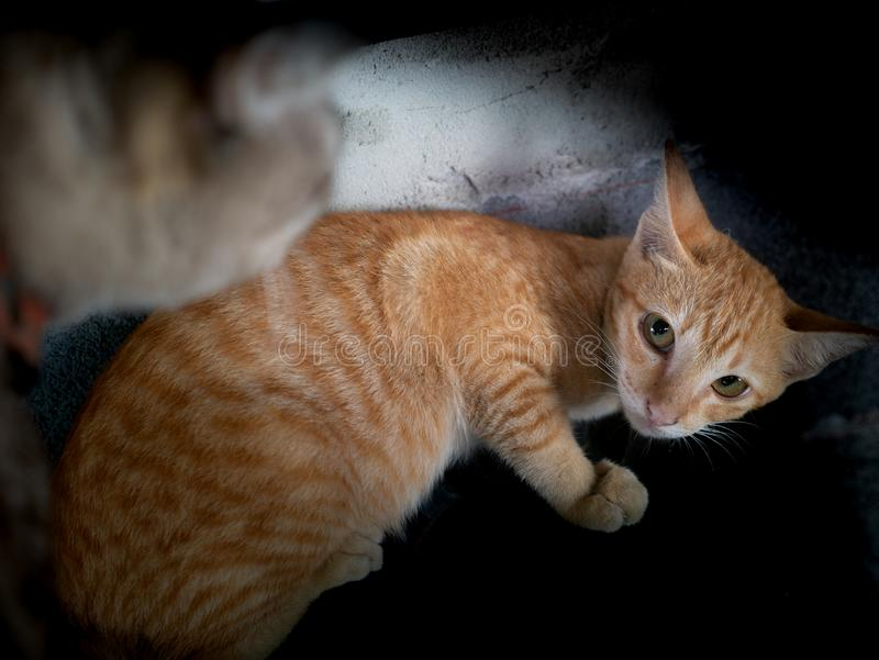 Gelbes Kätzchen war Gray Cat Threatened stockbilder