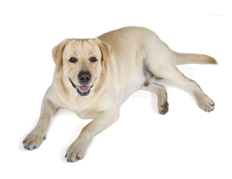 Gelbes Labrador retriever-Lächeln stockbild