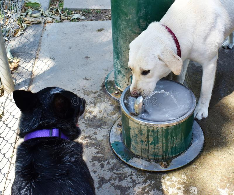 Gelbes Labrador und Queensland wechseln sich am Trinkbrunnen ab lizenzfreie stockbilder