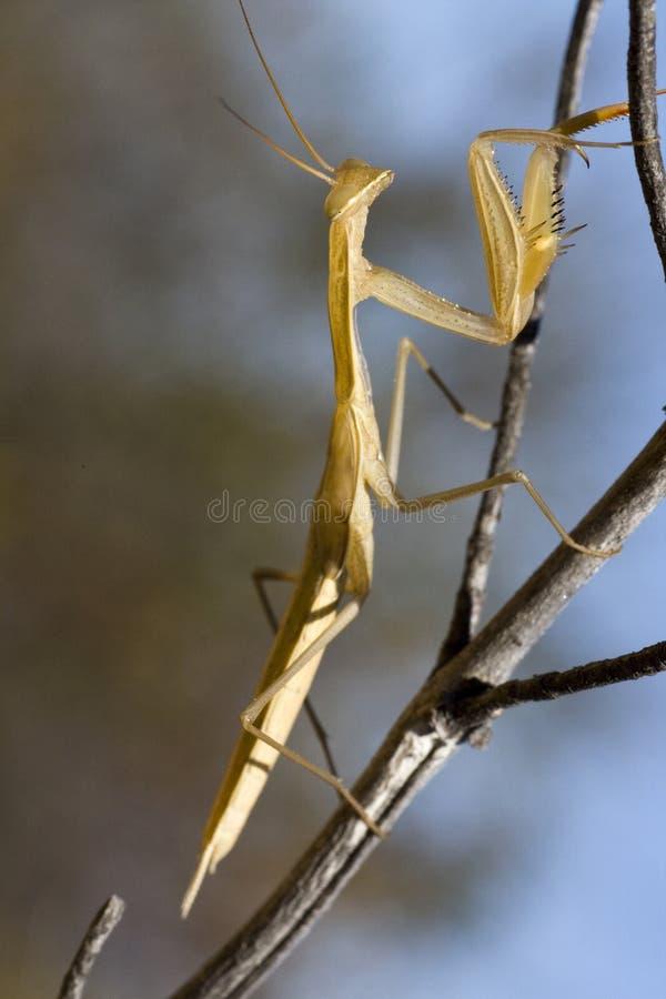 Gelbes Mantis religiosa stockbilder