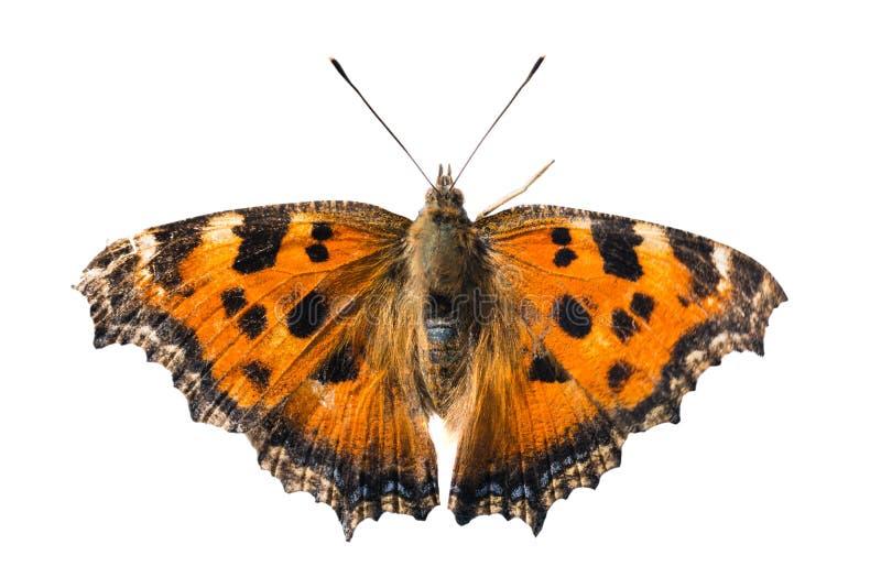 Gelbes mit Beinen versehenes Schildpatt des Schmetterlinges stockfotografie