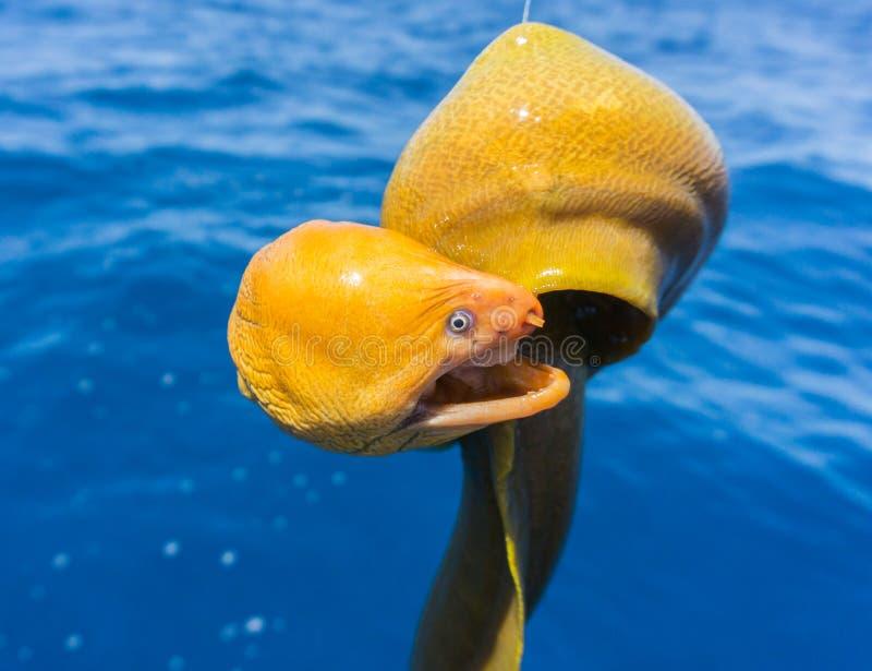 Gelbes Moray Eel-Porträt eines hässlichen Geschöpfs lizenzfreie stockfotografie