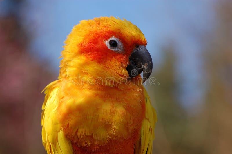 Gelbes Papageien-Portrait lizenzfreie stockfotos
