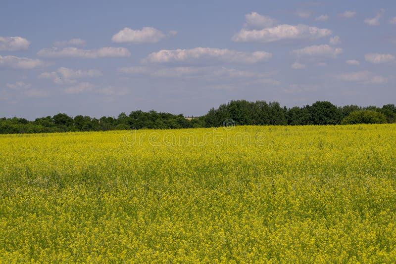 Gelbes Rapsfeld unter dem blauen Himmel mit Sonne stockfotos