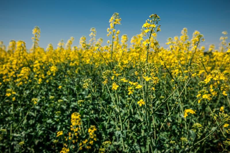 Gelbes Rapssamenfeld unter dem blauen Himmel lizenzfreie stockfotos
