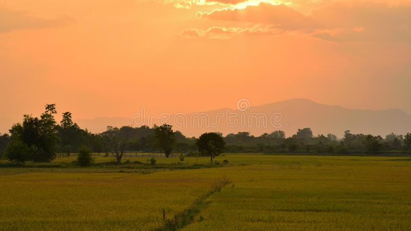 Gelbes Reisfeld vor Sonnenuntergang über den Bergen stockfoto