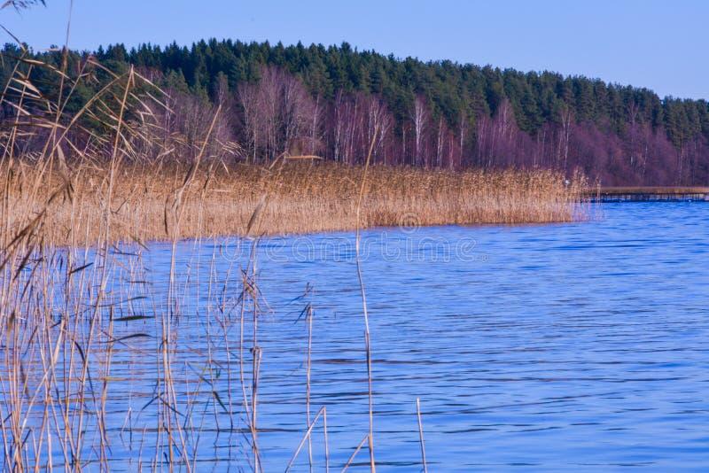 Gelbes Schilf wächst aus dem Wasser heraus gegen den Hintergrund eines grünen Waldes stockfotos