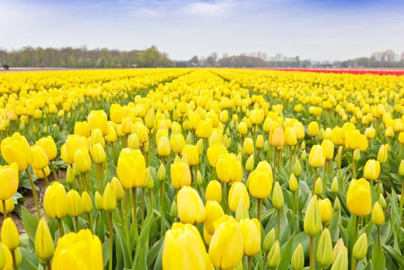 Gelbes Tulpe-Fühler-Feld stockfotos