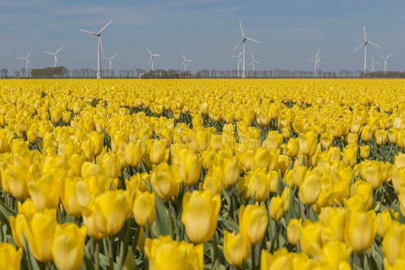 Gelbes Tulpenfeld im Noordoostpolder mit Windmühlen stockfoto