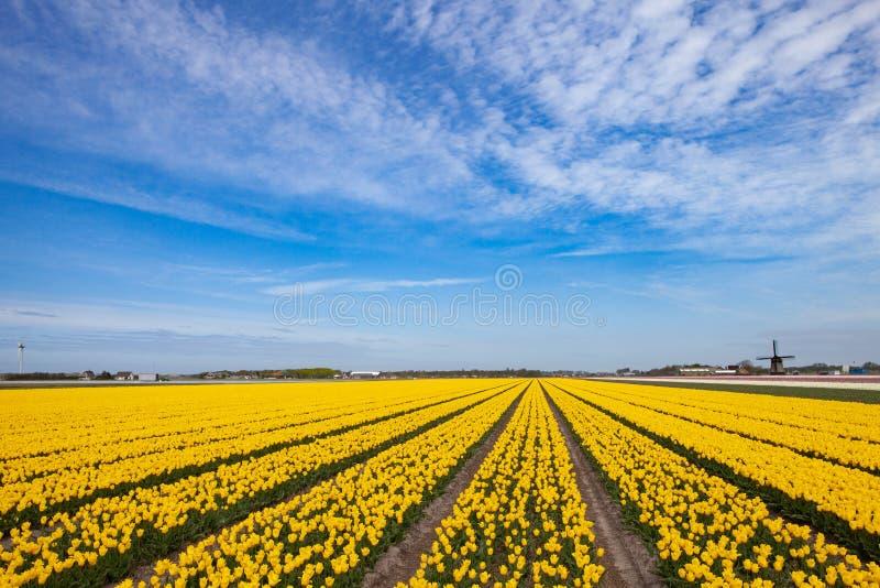 Gelbes Tulpenfeld mit alter Windmühle auf dem Horizont stockbild