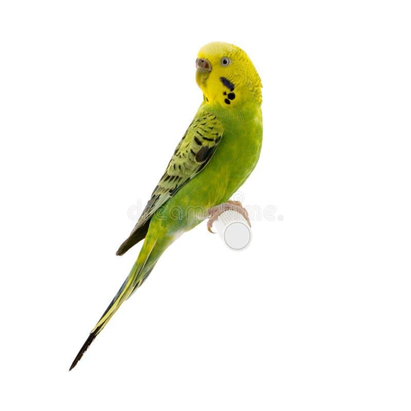 Gelbes und grünes budgie stockbild
