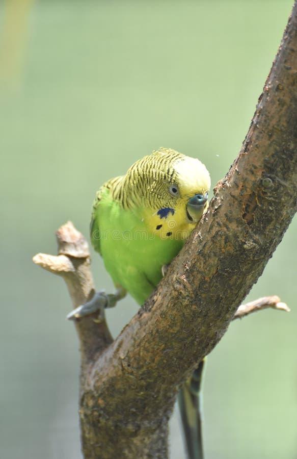 Gelbes und grünes Budgie, das am Baum pickt lizenzfreies stockbild