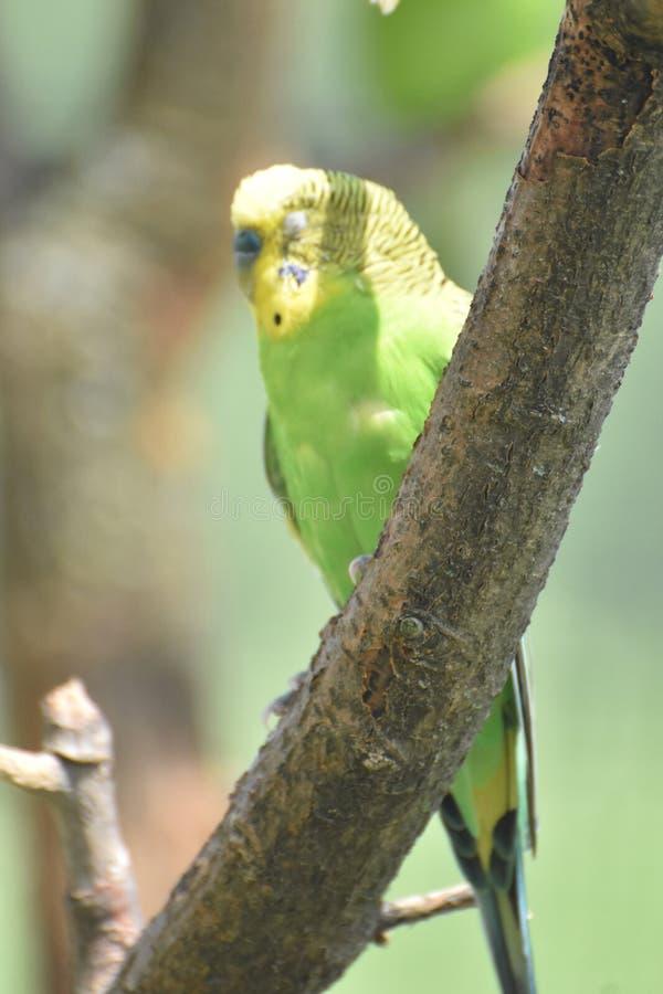 Gelbes und grünes Budgie mit seinem mustert geschlossenes in einem Baum lizenzfreie stockfotos