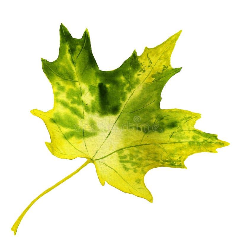 Gelbes und grünes Herbstblatt des Ahorns stockfoto