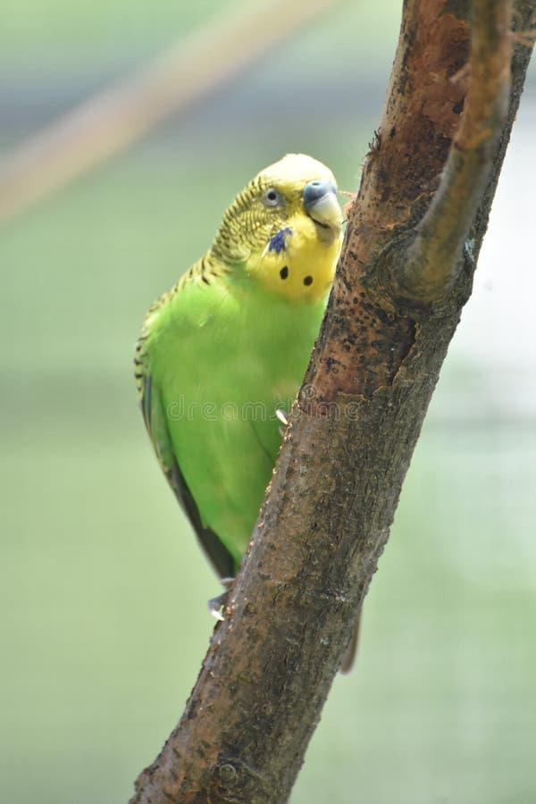 Gelbes und grünes Parrotlet, das an einem Baum-Stamm pickt stockbild