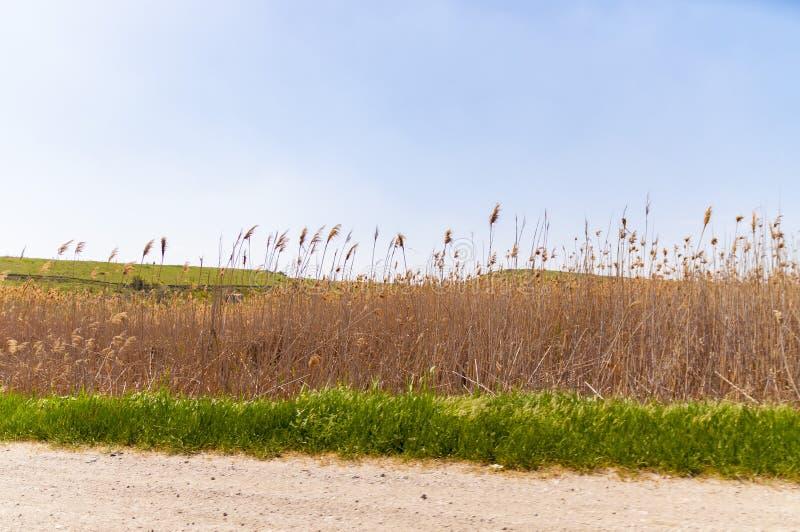 Gelbes und grünes Reedgras entlang Autobahn in der Krim, Ukraine stockfotografie