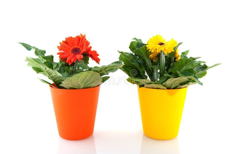 Gelbes und orange Gerber stockfotografie