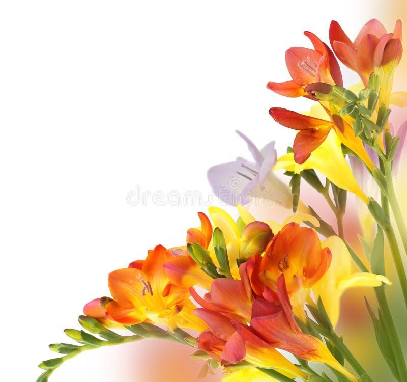 Gelbes und violettes fresia lizenzfreies stockfoto