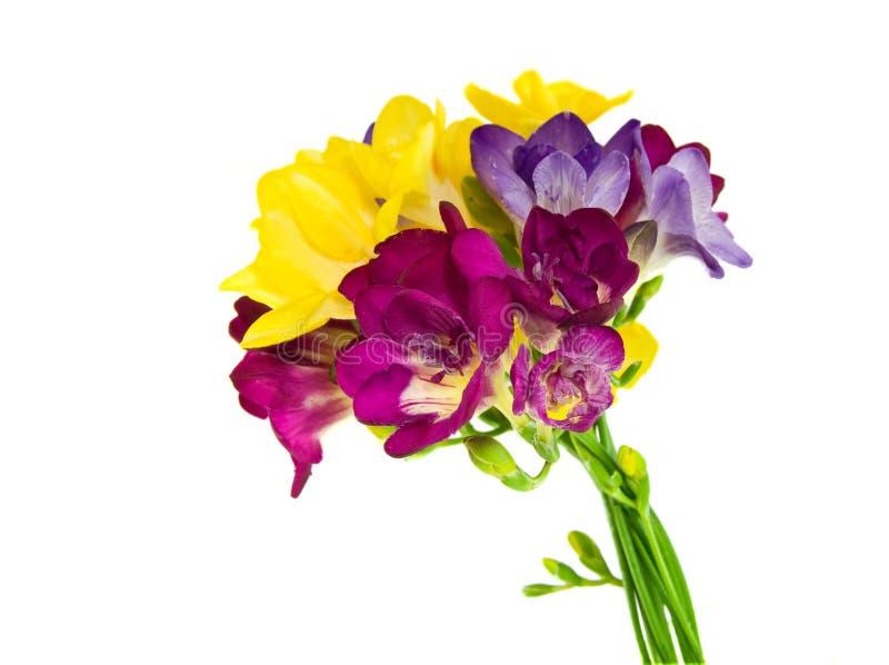 Gelbes und violettes fresia lizenzfreie stockfotografie