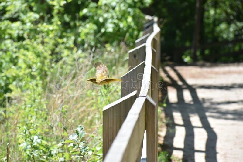 Gelbes Vogelfliegen von der Stange lizenzfreies stockbild