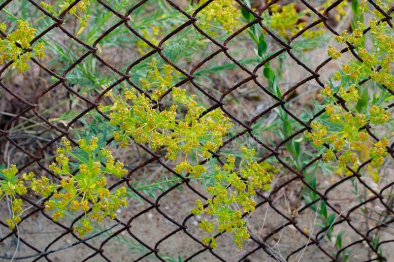 Gelbes Wachsen der wilden Blumen durch alten rostigen Maschendrahtzaun lizenzfreie stockbilder