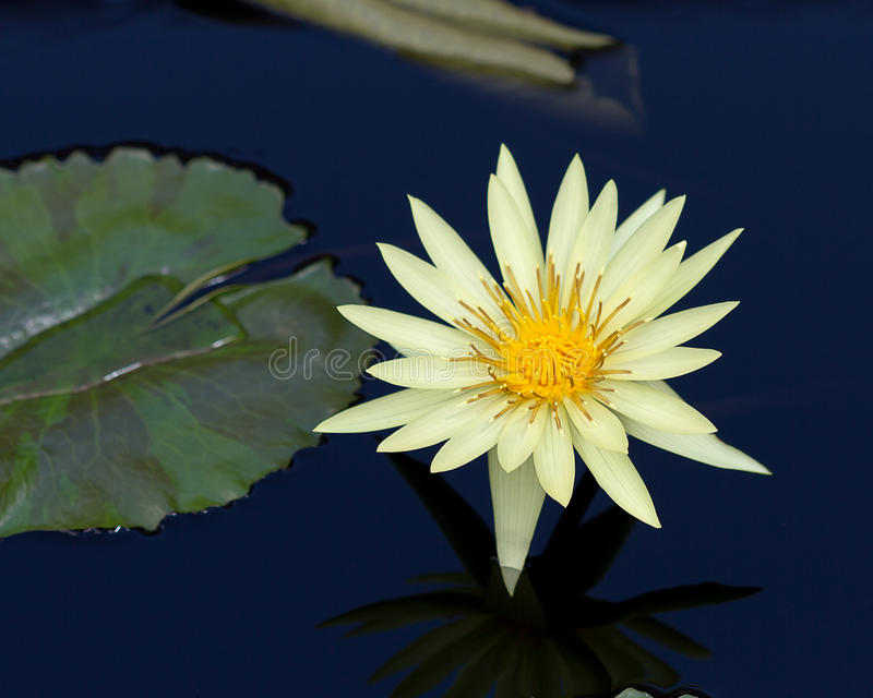 Gelbes Wasser Lily Flower lizenzfreie stockbilder