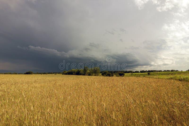 Gelbes Weizenfeld und stürmische Wolken lizenzfreie stockfotos