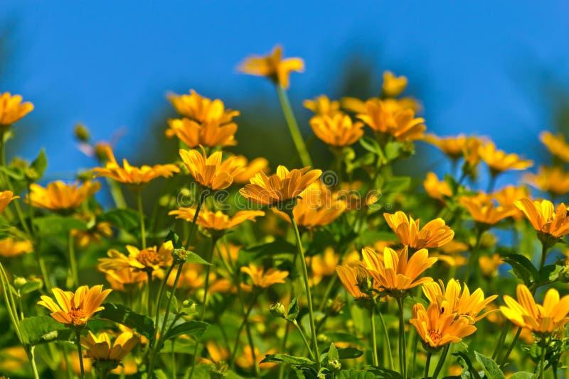 Gelbes Wildflower-Aster-Feld stockfotos