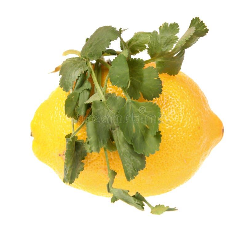 Gelbes Zitronen- und Korianderkoriandergrün verlässt lokalisiert auf weißem Hintergrund lizenzfreies stockfoto