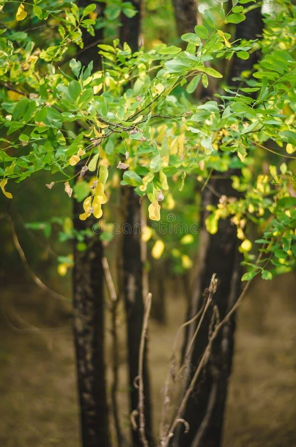 Gelbgrüne Blätter von Bäumen gegen einen Hintergrund von schwarzen verkohlten Stämmen Die Wiederbelebung der Nahrung im Wald nach lizenzfreie stockfotografie