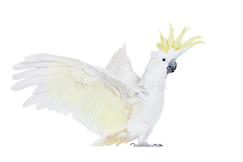 Gelbhaubenkakadu, lokalisiert auf Weiß stockbild